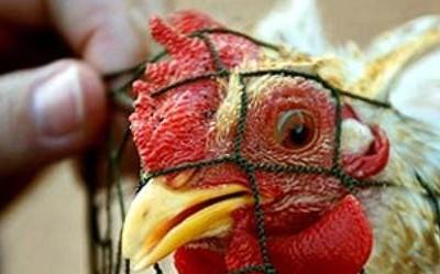 Эпидемия птичьей чумы в Германии