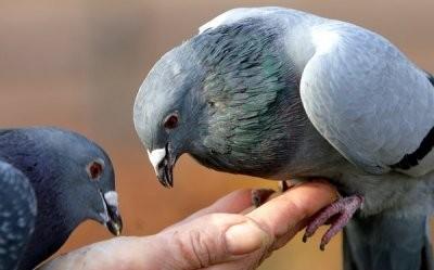 В Германии запрещают кормить голубей