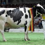 Титул королевы красоты у коровы Кристы