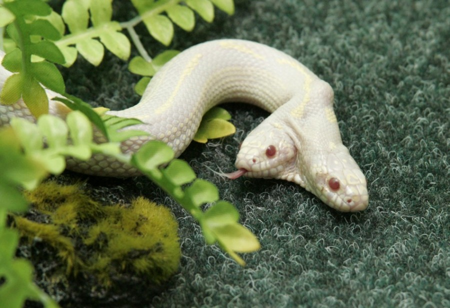 Духголовая змея