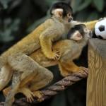 В Лондонском зоопарке обезьяны играют в футбол