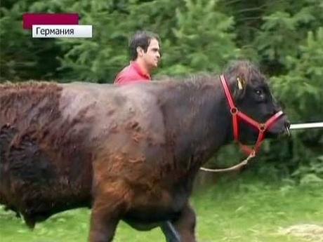 Сбежавшую корову ловят на быка