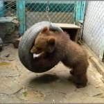 Медведей переселят в заповедник
