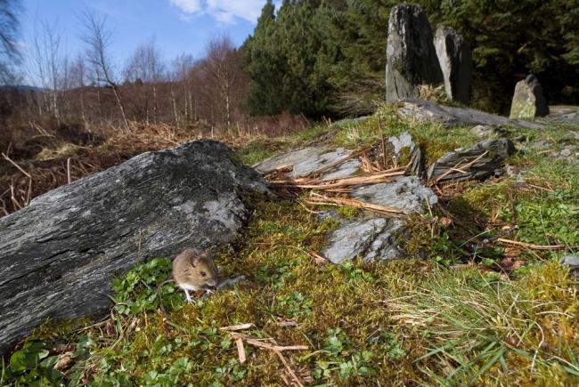 """Категория """"Среда обитания"""" - """"Обед у дерева"""", мышь, Ллин Элси, Северный Уэльс"""