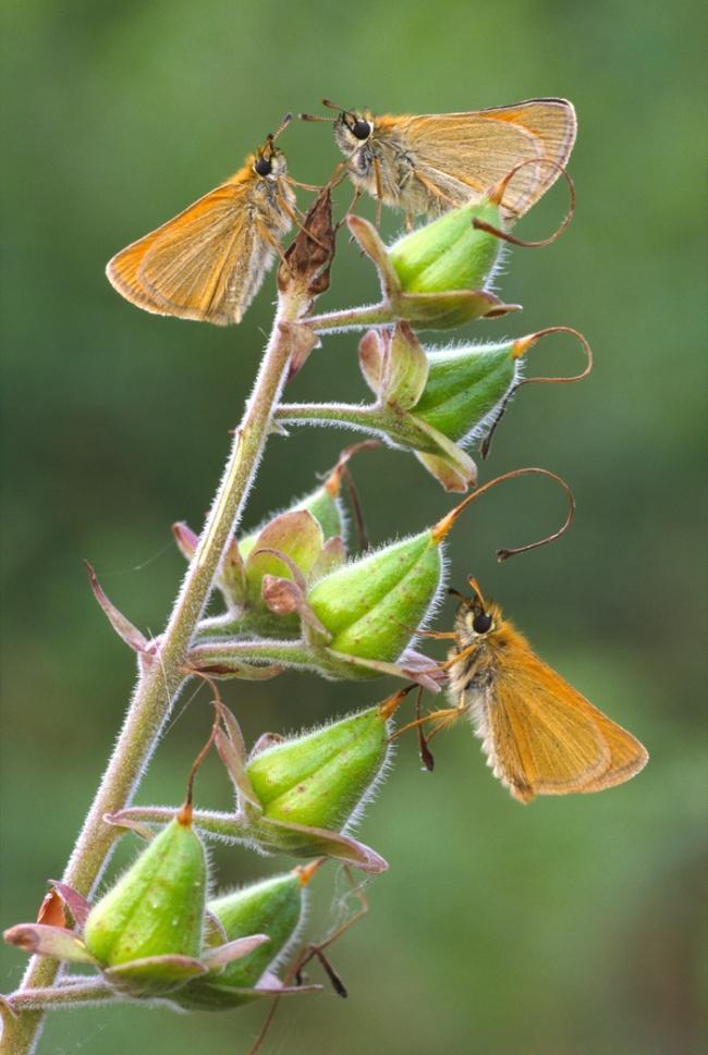 """Категория """"Микромир"""" - """"Соплодия наперстянки с маленькими бабочками"""", Фил Маклин, графство Гемпшир"""