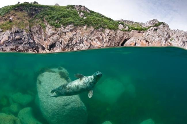 """Категория """"Морской мир"""" - """"Серый тюлень под скалами"""", Александр Горчица, остров Девон"""
