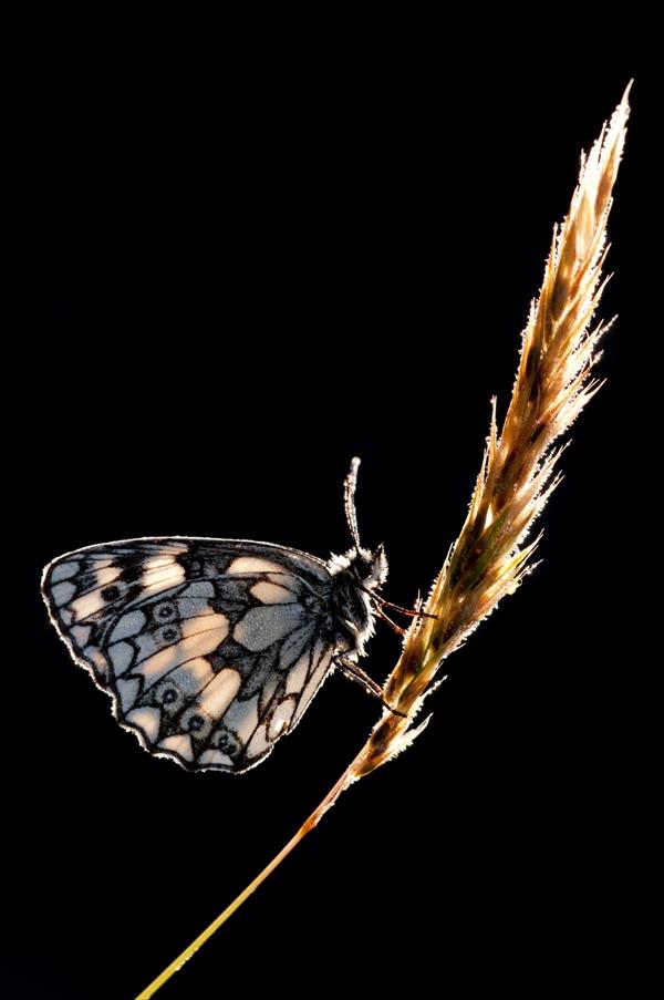 """Категория """"Британские сезоны, лето"""" - """"Подсветка"""", белая мраморная бабочка, Росс Ходдинотт"""