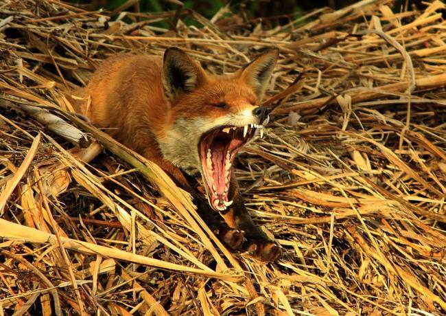 """Категория """"Молодой фотограф"""" - """"Зевание после обеденного сна"""", красная лиса, Оливер Уилкс (16 лет), Западный Сассекс"""