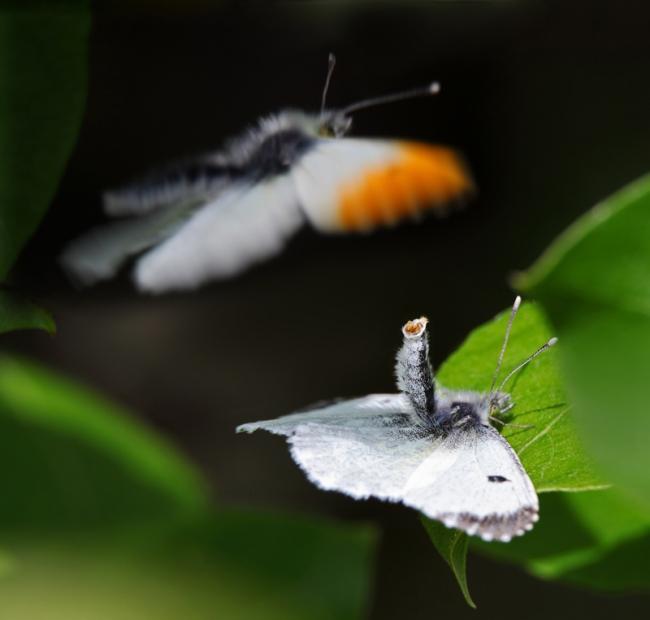 """Категория """"Поведение животных"""" - """"Спаривание бабочек"""", Джон Оливер, Пертшир"""