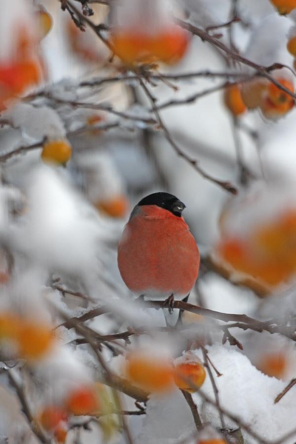 """Категория """"Дикий мир в моем саду"""" - """"Огонек"""", снегирь, Чарльз Эверитт, Шотландия"""