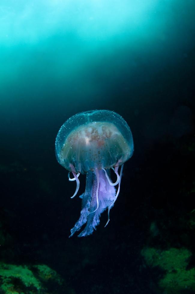 """Категория """"Морской мир"""" - """"Медузы"""", Ричард Шаксмит, Шотландия"""