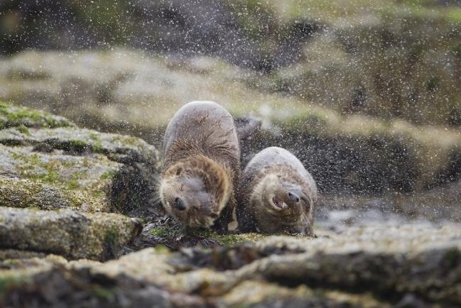 """Категория """"Поведение животных"""" - """"Просушим пальто!"""", европейские выдры, Марк Хамблин, Шотландия"""