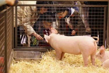 Мужчины Бельгии откажутся от трусов ради свиней