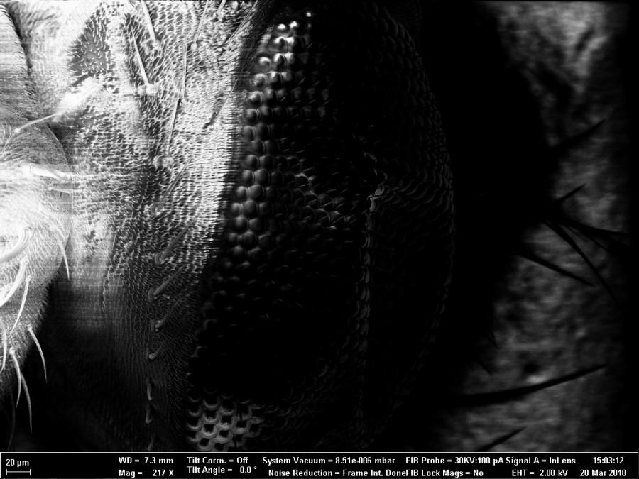 Третье место - Крис Форман, Глаз, крылья и лапы плодовой мушки (дрозофила)