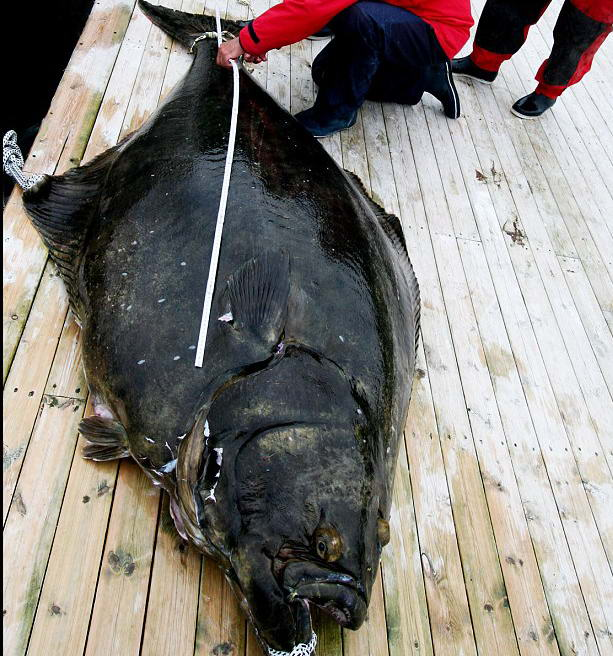 Гигантский палтус, пойманный в Норвегии