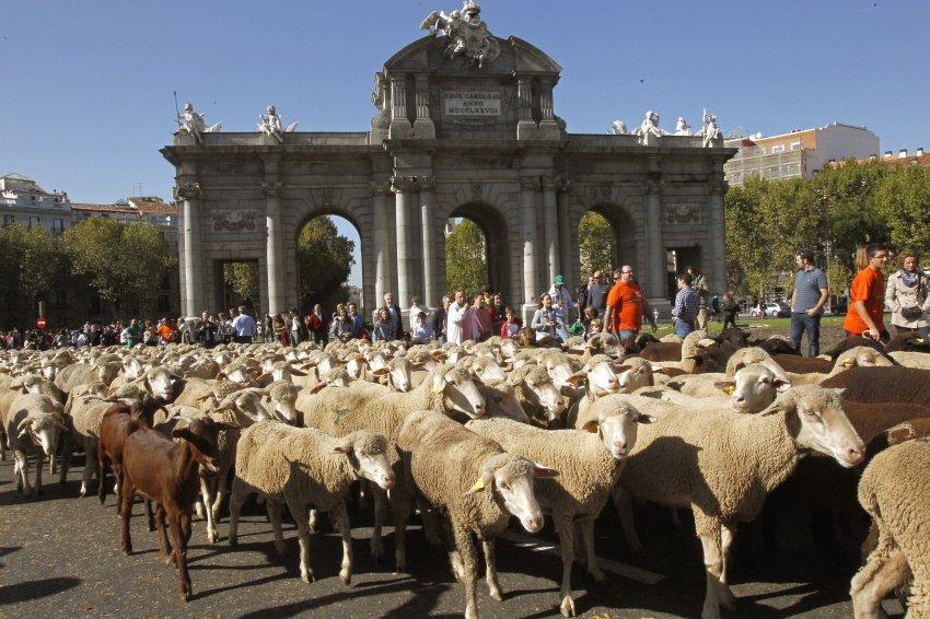 Исторический центр Мадрида во время древнейшей традиции перегона скота на зимние пастбища, 30 октября
