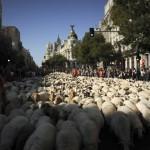 В общей сложности по улицам Мадрида прошли 5 000 овец, 30 октября