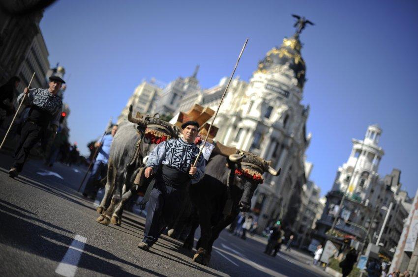 Пастухи со своим крупно-рогатым скотом на улицах Мадрида, 30 октября