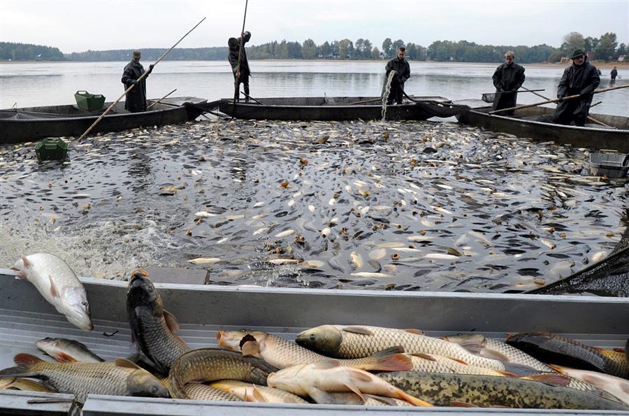 Чешские рыбаки на озере Velky Spolsky во время традиционной ловли рождественских карпов, деревня Libin, южная Богемия, Чехия