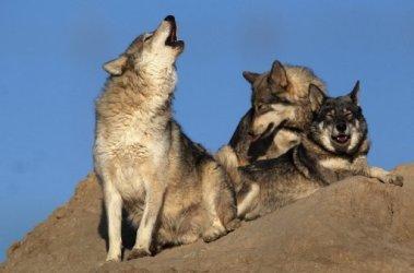 В Германию возвращаются волки