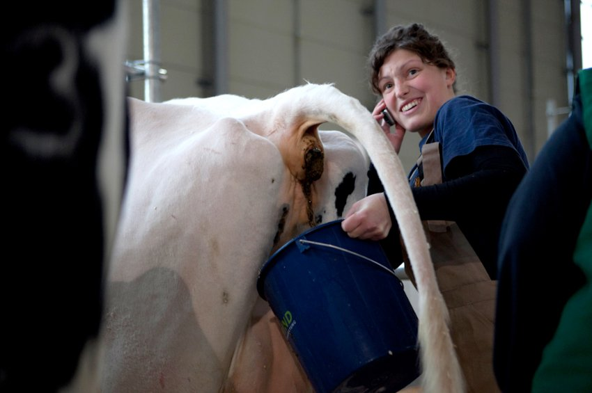 Луиза Хайден должна очистить и вовремя собрать фекалии выставочных коров иначе их потом не отмыть