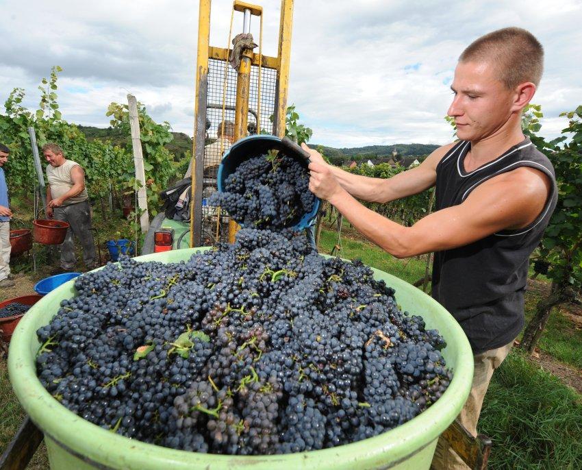 Немецкое красное вино сорта Пино нуар получило международное признание