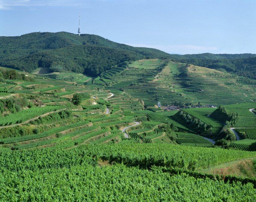 В Баден Кайзерштуль выращивают сорта винограда, которые раньше росли только на юге Франции