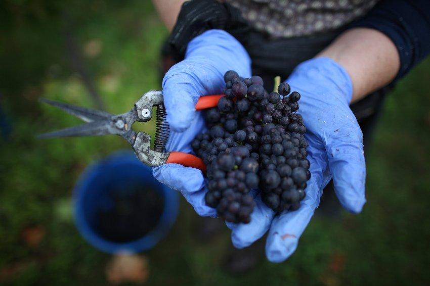 Виноград сорта Пино созрел в Dorking в Англии