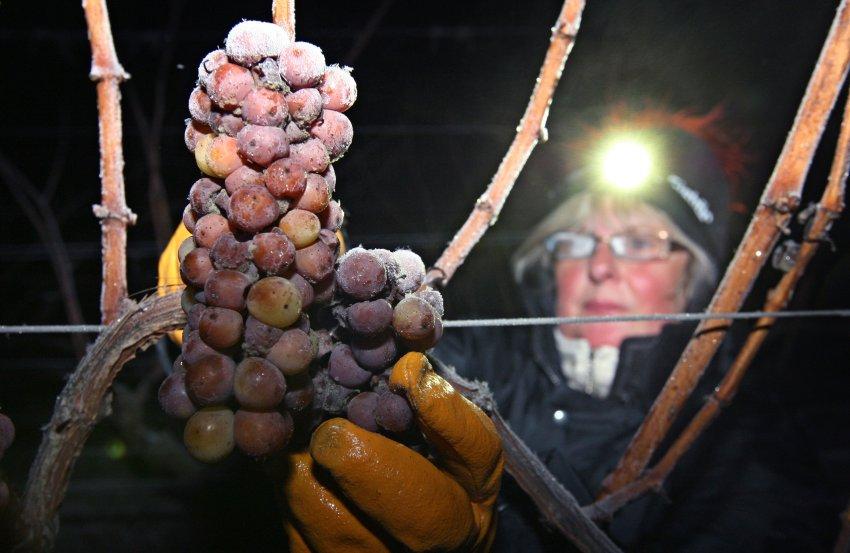 Из винограда, прошедшего заморозки до -7 градусов, получают элитное Ледяное вино