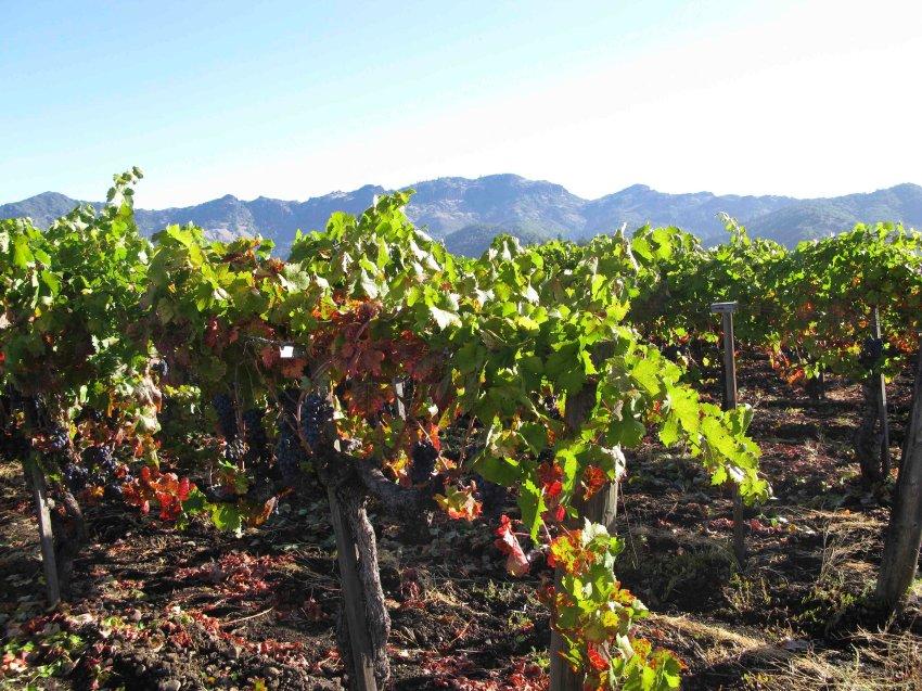 Дождливый 2011 год уменьшил урожай винной ягоды