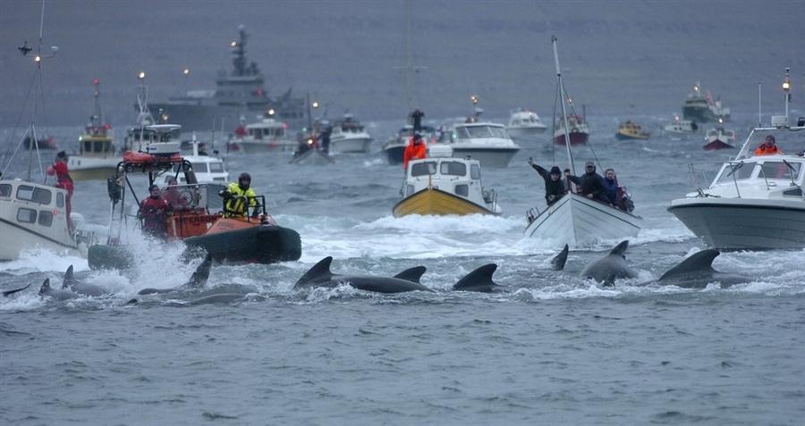 Облава на дельфинов у берегов Фарерских островов