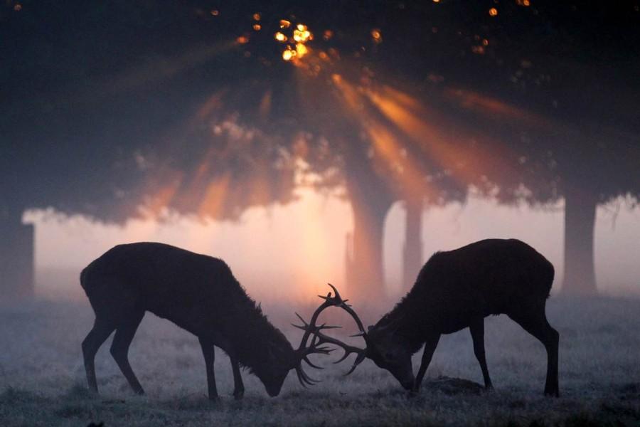 Два оленя сцепились рогами в утреннем тумане в Ричмонд-парке в Лондоне, Англия