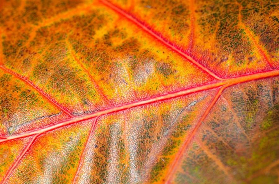 Яркие прожилки осеннего листа, Kew Gardens в Лондоне, Англия