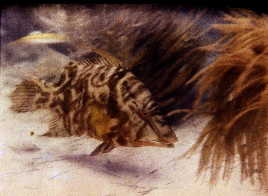Первая подводная цветная фотография - длинноперый губан, 1923 год