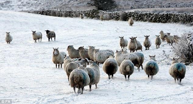 Стадо овец в Северной Ирландии на белых пастбищах