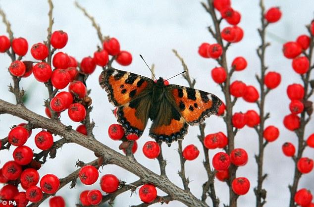 Резкие контрасты - бабочка и ягоды на снегу