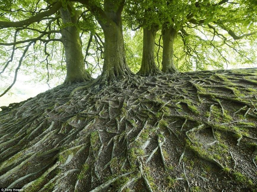 Буковые корни в Эйвбери, графство Уилтшир