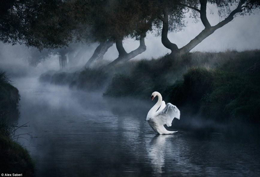 Лебединое озеро: утренний туман парит над водой в Ричмонд-парке Лондона