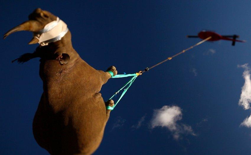 Спасение вымирающего вида - черного носорога от истребления браконьерами в Южной Африке в ноябре месяце. Животные, весом в несколько тонн были перевезены вертолетами в Заказник около Лимпопо