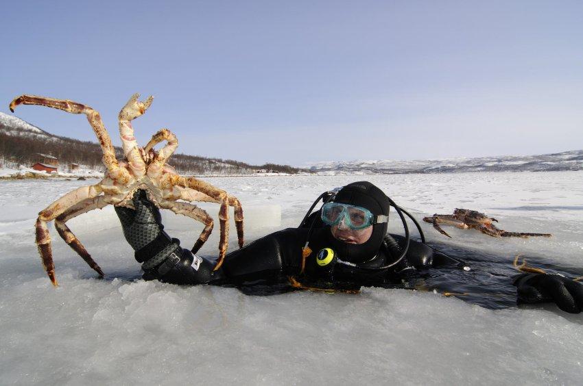 Дайвинг в норвежском Киркенесе в одном из фьордов, позволяет насладиться охотой на камчатского краба внушительных размеров