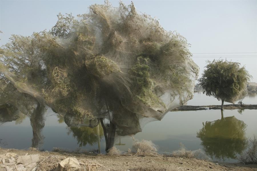 Нашествия пауков на деревья в марте месяце в Пакистане
