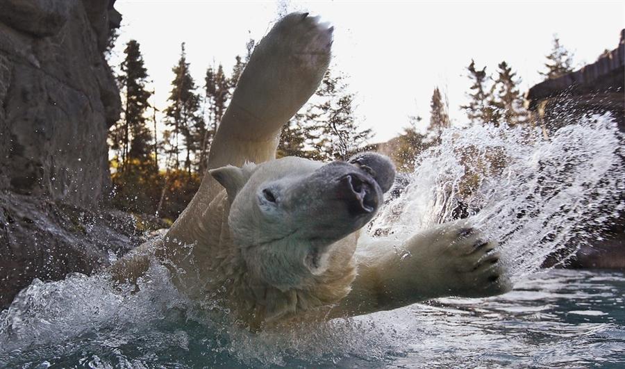 Развлечения белого медведя в Квебеке, Канада, 1 ноября