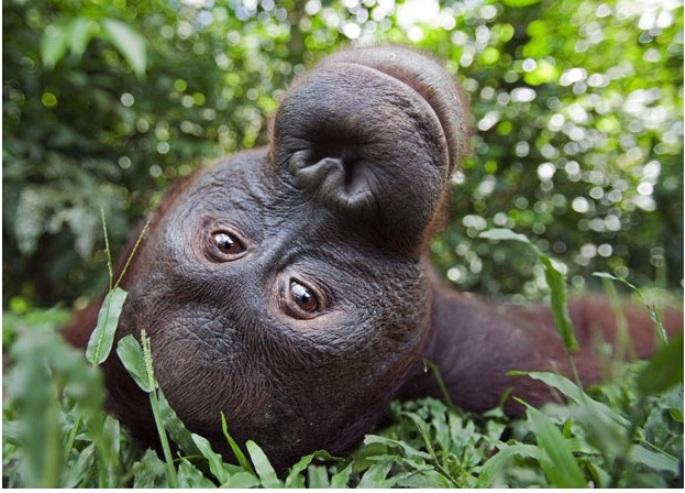 Пан, взрослый орангутанг, Борнео