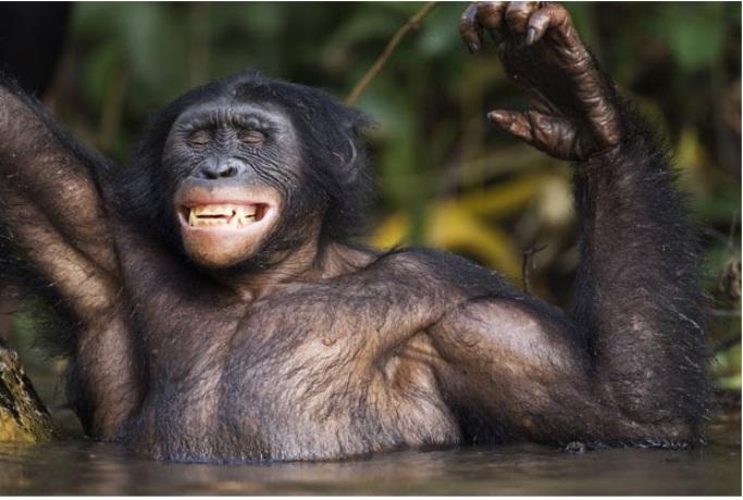 Это наслаждение, 15-летний бонобо чешет спину о ствол дерева в воде, Конго