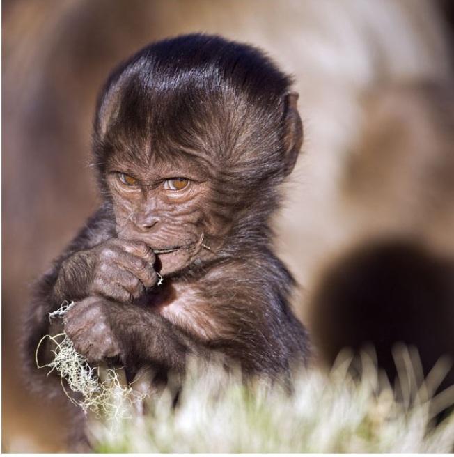 Нервное ожидание, бабуин, Эфиопия