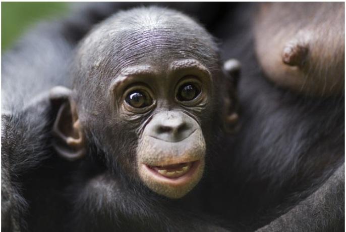 Детское удивление, бонобо, Конго