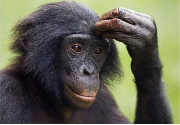 Задумчивость, самец бонобо