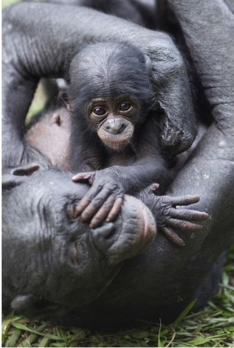 Игры с матерью, самка бонобо с 3 месячным малышом