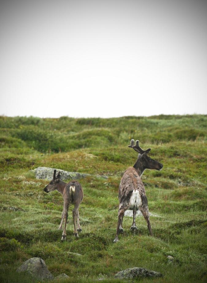 Северные олени в Норвегии