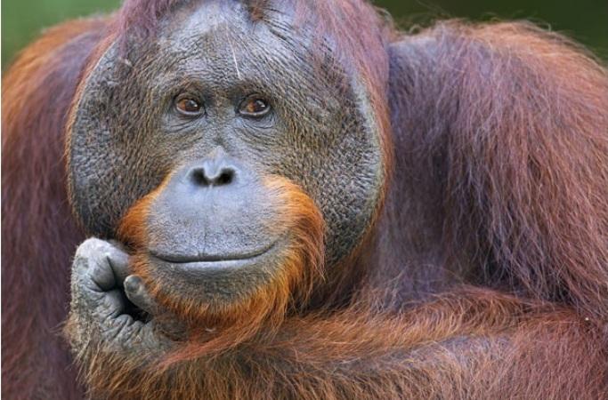 Светлая мысль, 16-летний орангутанг в Кемп Лики